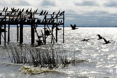 Birdie's Wharf (carodn) Tags: sea costa birds muelle flying pajaros wharf pjaro volar chascomus