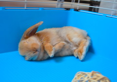 Action-FLOP! (mylo_rabbit) Tags: boy pet baby house cute rabbit bunny bunnies love animal ginger friend action sweet adorable cutie sweetie flop bun mylo actionshot houserabbit wabbit rolypoly flopped
