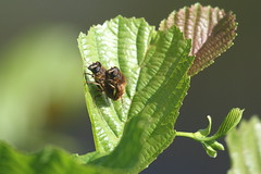 Give Us A Cuddle (karlentwm) Tags: nature bugs flies hoverfly