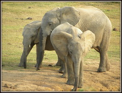DSCN5834-001 (Pixi2011) Tags: addo top20nature elephants