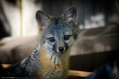 Fox Kit (Jerry van de Beek) Tags: sanfrancisco california camera travel portrait people blackandwhite bw macro slr art nature dutch clouds digital photoshop canon vintage advertising landscape photography bay photo aperture nikon san francisco flickr beek little action bokeh outdoor jerry stock models fluffy photograph adobe micro 7d bayarea getty dxo 5d nikkor puffy nederlands d800 lightroom photojournalist lfc fotograaf littlefluffyclouds d90 outdoorphotography flickraward d7000 doubledragonawards jerryvandebeek