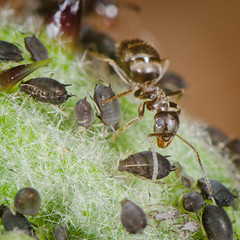 An ant's farm (The Nature Guy) Tags: macro germany insect bavaria nikon ant makro aphid lenses extensiontube kenko nikon105f28 d7000
