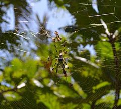 biggest spider i have ever seen. (AlishaSK) Tags: usa nature bug insect spider florida spiderweb 1855mm nikkor alishask