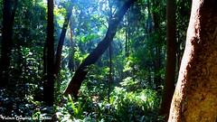 Enchanted forest - Floresta encantada (VCLS) Tags: vcls valmir valmirclaudinodossantos brasil brazil sopaulo paisagem fotografia forest floresta rvore tree jungle imagem onceuponatime image natureza nature luz light foto picture magic magica contodefadas fairetale trianon parque park woods