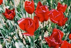 000005 (seustace2003) Tags: keukenhof nederland niederlande holland pays bas paesi bassi an sitr tulip tulp tulipan tiilip tulipa