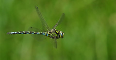 Southern Hawker Dragonfly (Aeshna cyanea). (Sandra Standbridge.) Tags: southernhawkerdragonfly aeshnacyanea dragonfly inflight insect inthewild wildandfree flying outdoor animal macro