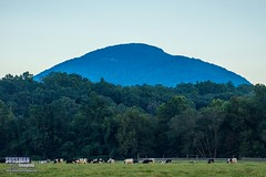 Yonah Mountain and Cows (The Suss-Man (Mike)) Tags: cow cows georgia grass helen indianmound landscape livestock mountain mtyonah nacoocheeindianmound nature pasture sauteenacooche sky sonyslta77 sussmanimaging thesussman trees whitecounty yonah yonahmountain unitedstates