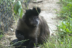 1 of 79 Capuchins (vic_sf49) Tags: vicsf49 uk england dorset monkeyworld cronin
