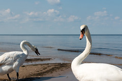Swans (Ervins Strauhmanis) Tags: muteswan bird animal white feathers beach water seaside marine coast waterfowl wildfowl
