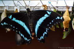 Papilio nireus, African bluebanded swallowtail (DiDaDoDeborah) Tags: butterfly butterflies vlinder vlinders vlindorado insect flickrinsects closeupinsect bestinsect graphium sarpedon common bluebottle blue triangle pupa pupae