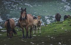 The pack (pelpis) Tags: horse horses life libre free landscape portrait animal animalscene scene asturias spain espaa green flickr flckranimal wild wildelife