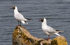 Black-Headed Gulls (T W Photos) Tags: snettisham blackheaded gulls bird rspb