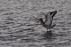 IMGP1678 Black-Tailed Godwit Welney Washes, August 2016 (bobchappell55) Tags: welneywashes wildfowl wetlands trust wwt nature reserve wildlife wild bird