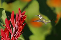Female Ruby throated hummingbird (Thank you for 1.5 Million views) Tags: