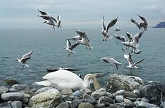 """lstige Fans"" (welenna) Tags: switzerland schwitzerland see view vgel lake light swiss swan schwan mwe mwen genfersee genevelake vevey lakegeneva laclman abend evening bird vogel"
