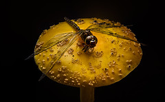 Dragonfly on Mushroom (Terry L Richmond) Tags: dragonfly wings detail macro colorful delicate canon6d canon1740