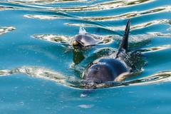 Wave Power (Maskedmarble) Tags: devon brixham harbour dolphin calf