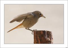 El almuerzo de la colirrojita (V- strom) Tags: nikon pjaro ave colirrojo naturaleza fauna madera luz
