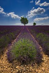 Champ de lavande  Valensole, Alpes de haute provence, France (paskal35) Tags: valensole lavande sud alpes de haute provence paysage violet champ soleil vacances t voyage france chaleur