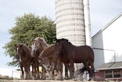 Amish Work Horses (Catrina Coleman) Tags: amish horses pa pennsylvania amishcountry farm farmlife simplelife workhorses beautiful
