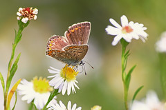 ... (zsolt75) Tags: canon100d sigma 70300 hungary nature butterfly flower autumn outdoor insect bug