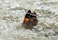 Blomfild's Beauty------ Smyrna blomfildia (creaturesnapper) Tags: borinquenmountainresort rincondelavieja costarica lepidoptera butterflies nymphalidae blomfildsbeauty smyrnablomfildia