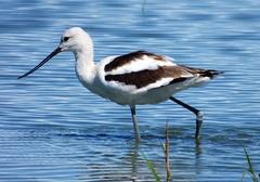 American Avocet (linda long) Tags: birds avian wildlife nature waterbirds shorebirds wadingbirds avocet americanavocet oregonbirds pacificnorthwest migration