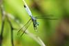 Blue Dasher (Shutter_Hand) Tags: texas usa miguelmendozamuñoz clarkgardens botanicalpark weatherford mineralwells secretgarden parquebotánico jardinbotánico botanico jardin jardinsecreto texasgem texasjewel naturaleza lenscraft sonyaf100mmf28macro macro sony alpha a99 sonyalphaa99 slta99 libélula dragonfly tulish