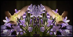Symmetry (Brenda Boisvert ..) Tags: hummingbirds hummingbird agapanthus sy symmetry nature manipulated manipulation adobepsexpress adobepsfix