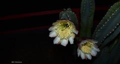 ER 160901 (13) (Paolo Bonassin) Tags: flowers cactaceae cactacee cactus succulente cereus cereusperuvianus