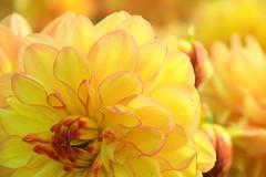 Yellow Smile (preze) Tags: dahlie dahlia yellow gelb blume flower pflanze plant blossom blte flora petals wassertropfen tropfen drops waterdrops bltenbltter blumen bltenblatt canoneosm3 efs18135 schrfentiefe