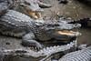 Krokodýli farma (luciechlebikova) Tags: mekongdelta mekongriver vietnam asia crocodile crocodiles crocodilefarm