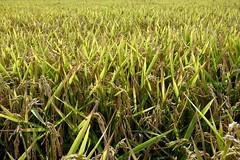 Rice ears () Tags: riso rice spighe ears risaia