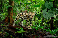Ocelot on log, Costa Rica. (www.NeotropicPhotoTours.com) Tags: costarica juancarlosvindas centralamerica nature wildlife landscape birdphotography photographer photos pictures stock fulllength nobody sideview outdoors mammals endemic portraitmode portrait large small colibries colibris canon tropical rainforest protected workshop tour expedition cute waterfall green forest rightsmanaged rm getty treefrog leaffrog landscapes ecuador distinctive endangered animalsinthewild birdwatching biology biodiversity multicolored animal toucan wildanimals neotropicwildlife leoparduspardalis manigordo tigrillo dwarfleopard newworldcats ocelot