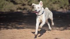 White Goberian Running - Nikon D750 - AFS Nikkor 28-300mm 1:3.5-5.6G VR (divewizard) Tags: nikond750 nikon d750 dslr fx afsnikkor28300mm13556g afs nikkor 28300mm 13556g vr f3556 zoomlens zoom lens 28300mmf3556gvr elsegundodogpark dogpark elsegundo losangelescounty california 90245 chrisgrossman white whitedog male blue dog goberian goldenretriever siberianhusky heterochromiairidis heterochromiairidum sectoralheterochromia blueeye browneye bluebrowneye bicoloredeyes portrait naturallight sunlight running airborne playing bicoloredeye perro co chien hund    hond