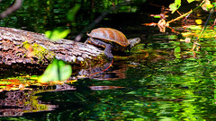 Turtle's Adventure (Alfred Grupstra Photography (bussy until 30 octobe) Tags: green narure source tree turtle water ljubanishta ohrid macedonivjrm mk