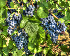 Ready for Harvest (ajtoepfer) Tags: france alsacelorraine ribeauville grapes grapevines agriculture vineyard
