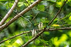 Twins(Baby Japanese Tit) (Yorkey&Rin) Tags: 2016  bird em5 japan japanesetit july machida olympus olympusm75300mmf4867ii rin summer t7191527 tokyo