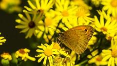 jaune (Yasmine Hens) Tags: butterfly macro jaune yellow papillon hensyasmine namur belgium wallonie europa aaa belgi belgia belgien  belgique blgica   belgie  belgio    bel be