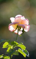 Backlighting and Bokeh (William Miller 21) Tags: rose bokeh flower flora washingtonoaksgardensstatepark canon t3i tamron1750 nature