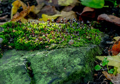 Shady and Wet. (Omygodtom) Tags: macro macromonday moss shade outdoors natural nature flickr tamron90mm nikon d7100 dof park bokeh bright