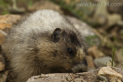"Hoary Marmot • <a style=""font-size:0.8em;"" href=""http://www.flickr.com/photos/63501323@N07/7890572854/"" target=""_blank"">View on Flickr</a>"