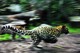 Amur leopard leaping!