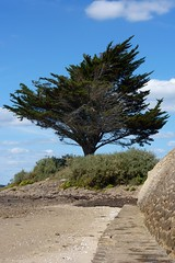 Vent d'ouest (ZdArock) Tags: cliff france tree beach pinetree island vent bay sand brittany wind sable bretagne falaise arbre arz plage morbihan sapin le golfe iledarz zdarock