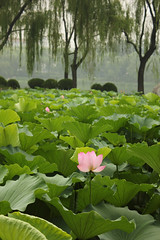 IMG_0198 (xconnieiam) Tags: flowers landscape lily lilypond