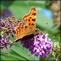 Comma - Polygonia c-album (pixmad) Tags: lumix butterflies september panasonic southport 2012 heskethpark bigbutterflycount fz45