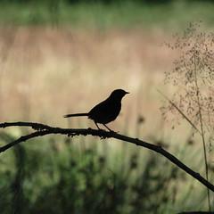Bird Silhouette (bojabee) Tags: green bird nature birds silhouette d50 scotland highlands schottland schotland scozia bojabee