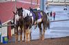 2012-08-26 (52) r3 pony people (JLeeFleenor) Tags: horses caballo cheval photography photos uma cal westvirginia cavallo cavalo pferd equestrian kin kuda alogo equine hest thoroughbreds soos hevonen cuddy paard cavall kon koin 馬 hast häst ceffyl лошадь 马 koń faras hestur סוס perd حصان konj кон άλογο घोड़ा capall beygir yarraman pfeerd charlestownracing
