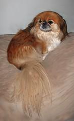 PrincessSophia (ArtByApril) Tags: dog pets animal puppy browndog pomeranian beautifuldog brownandwhitedog prettydog