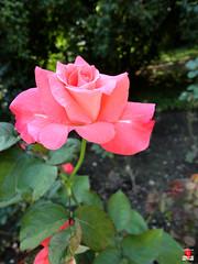 Roses - Gramdiflora rose  'Dream Come True' - Rosaceae SC20120826 312 (fotoproze) Tags: roses canada rose quebec montreal rosen gl rosas rozen 2012 roser    rosor mawar jardinbotaniquedemontral rsir re re  montrealbotanicalgardens trandafiri arrosak ruusut hoahng       rue    rzsk queenrose vrtnice ris  rhosynnau